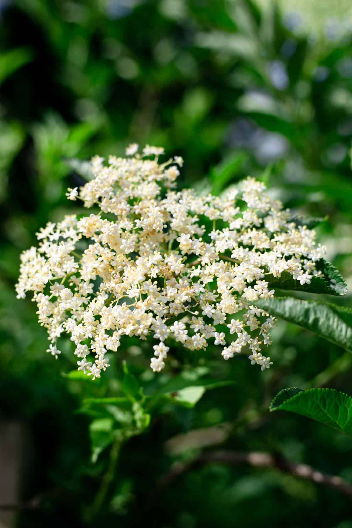 Classic elderflower cordial recipe #elderflower #cordial #summerdrink | via @annabanana.co