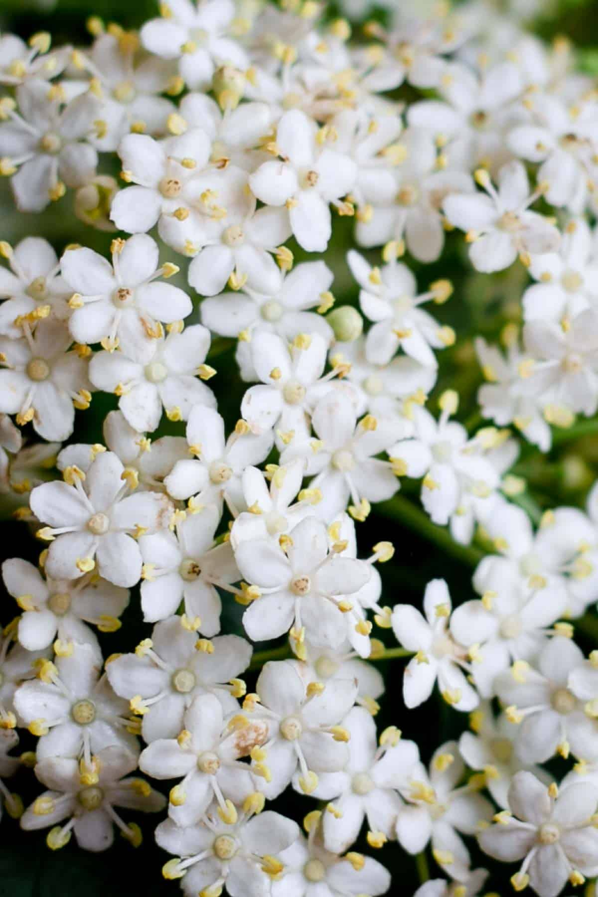 Beautifully fragrant, white and lacy elderflowers, ideal for making a cordial! #elderflowercordial #drinkrecipe #elderflower | via @annabanana.co