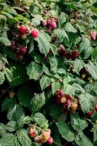 Sweet and juicy summer raspberries #raspberries #foodphotography | via @annabanana.co