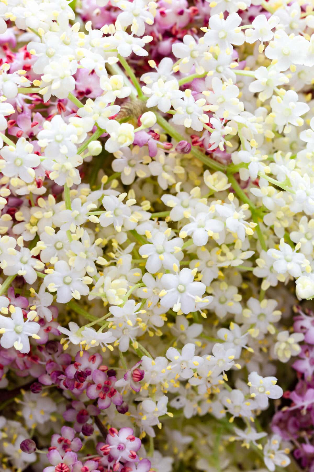 super close up at white and pink elderflowers